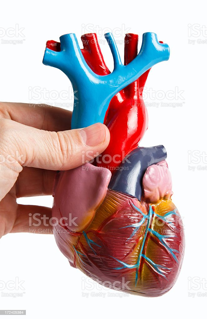 Hand holding anatomical model of human heart stock photo