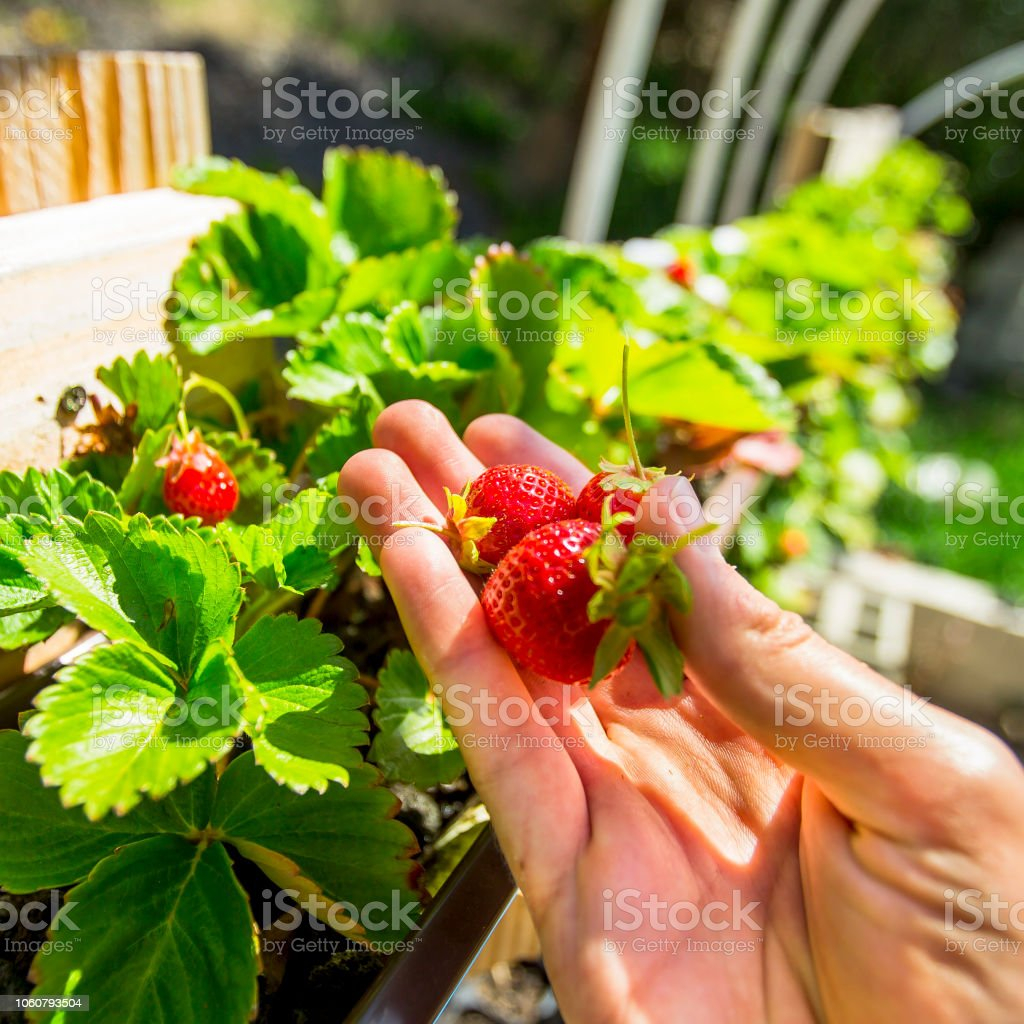 Hand holding aquaponics grown in the strawberries stock photo
