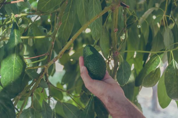 Hand holding avocado from avocado tree stock photo