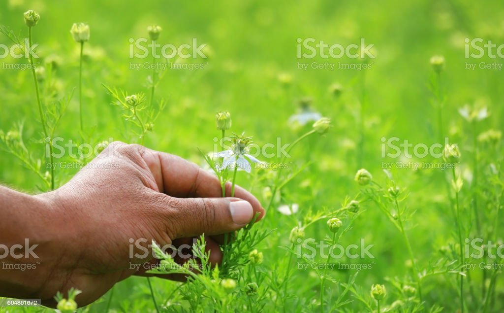 Hand holding ayurvedic nigella flower stock photo