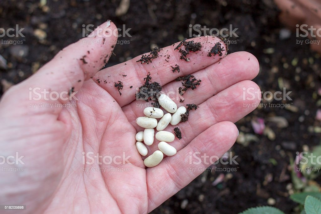 Hand holding bean seeds stock photo