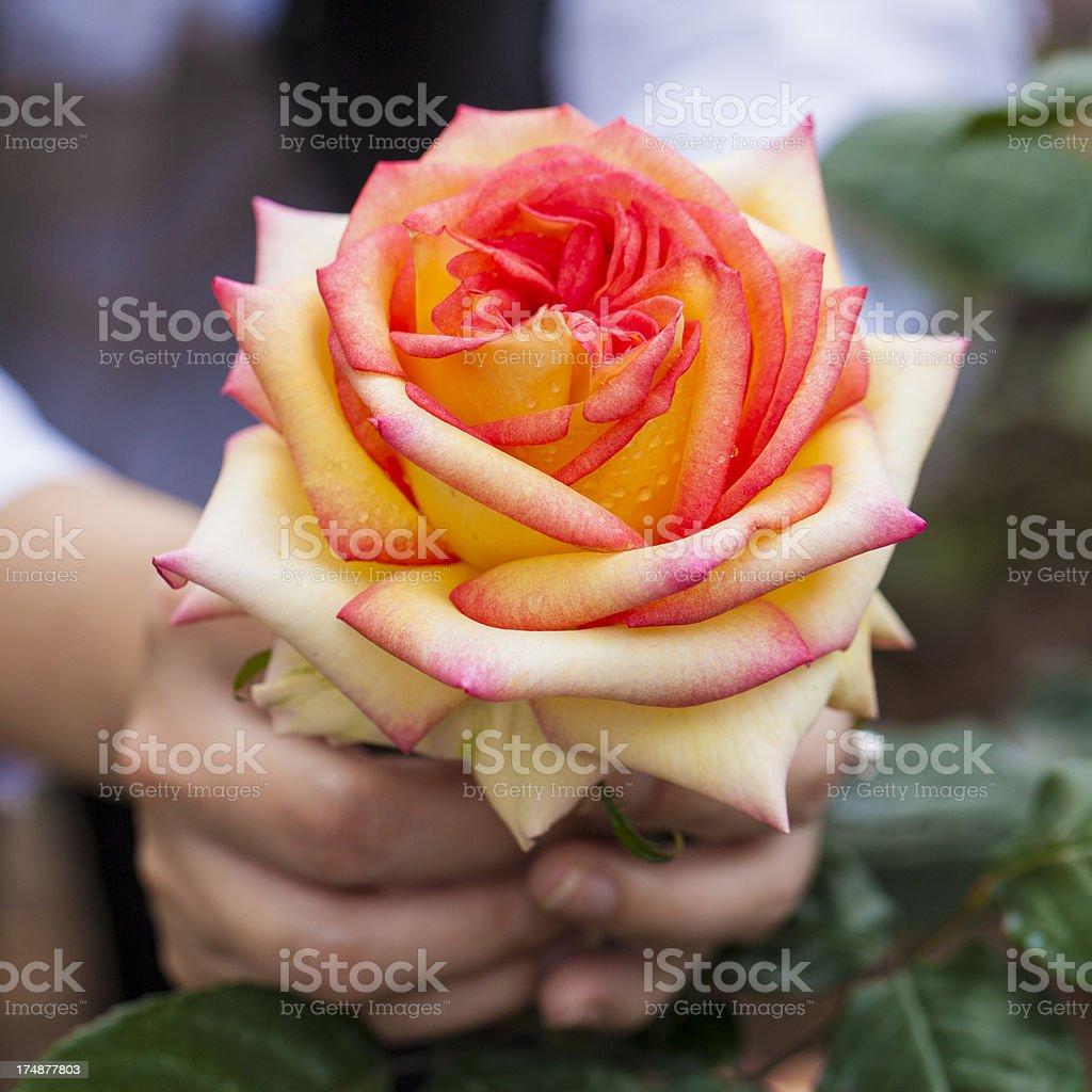 Hand holding beautiful roses royalty-free stock photo
