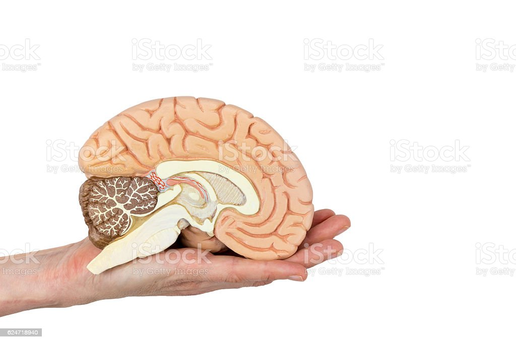Hand holding brain hemisphere on white background stock photo