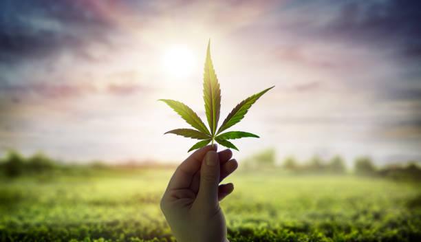 Hand Holding Cannabis Leaf Against Sky With Sunlight stock photo
