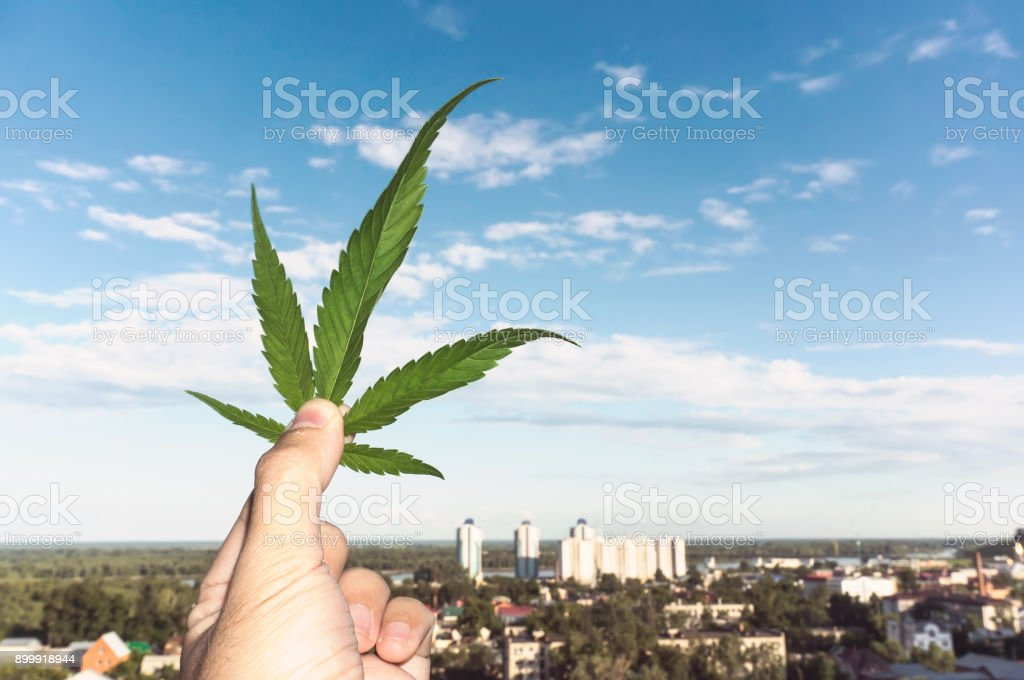 Hand holding Cannabis leaf at blurred background stock photo