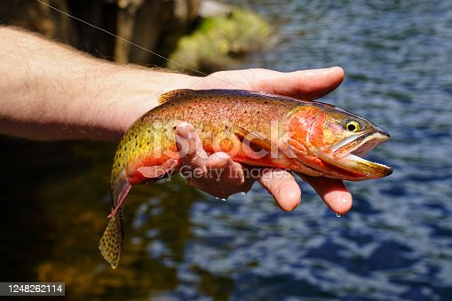 Hand Holding Colorful Cutthroat Trout - Closeups of fish being being released. Catch and release fly fishing at backcountry mountain lake.
