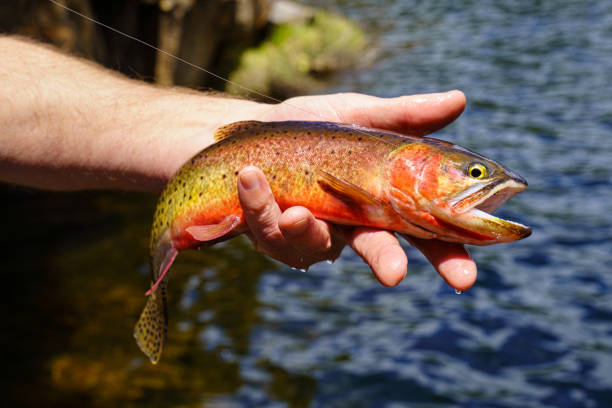 Hand Holding Colorful Cutthroat Trout Hand Holding Colorful Cutthroat Trout - Closeups of fish being being released. Catch and release fly fishing at backcountry mountain lake. cutthroat stock pictures, royalty-free photos & images