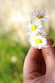 Close up of hand holding daisies in the garden.