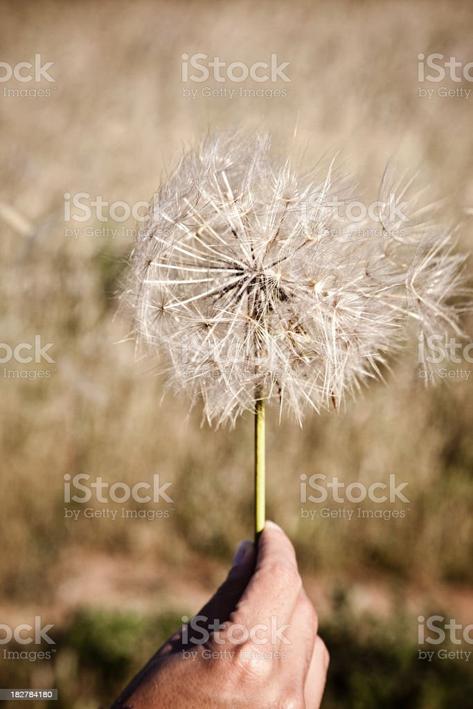 Hand Holding Dandelion royalty-free stock photo