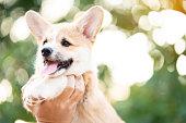 istock Hand holding dog corgi dog in summer sunny day 1128442287