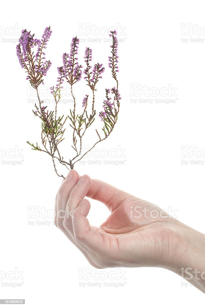 Hand holding dry heather royalty-free stock photo