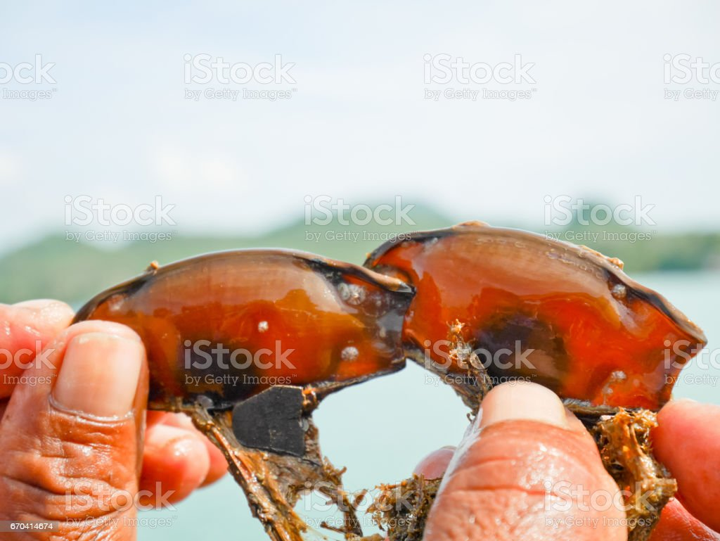 Hand holding egg cases of a bamboo shark stock photo
