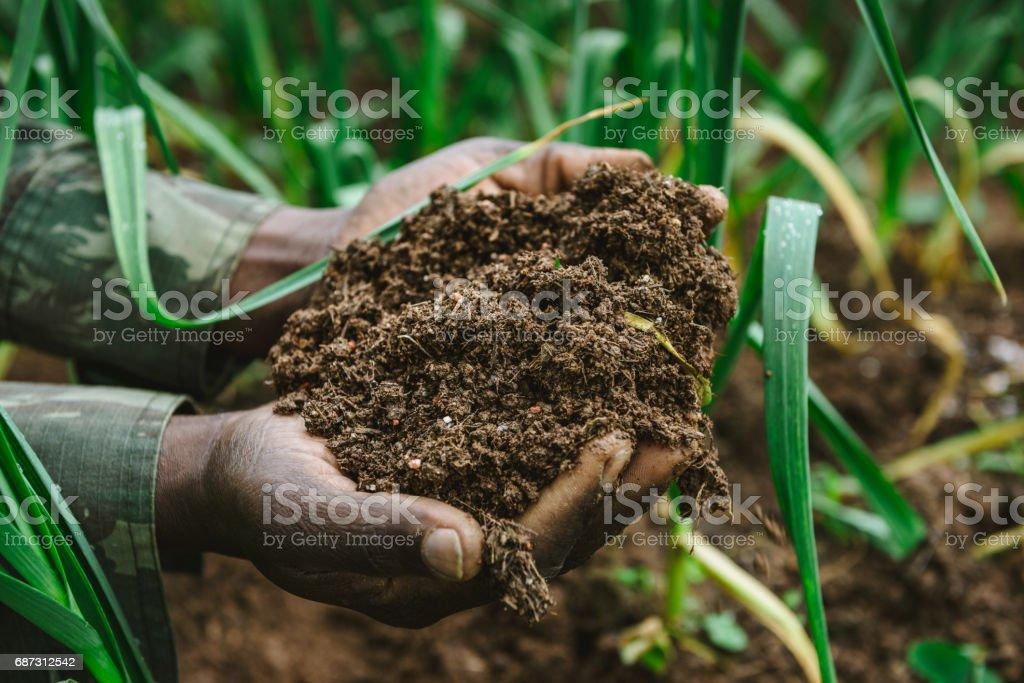 Hand holding fertile soil, Garlic garden stock photo