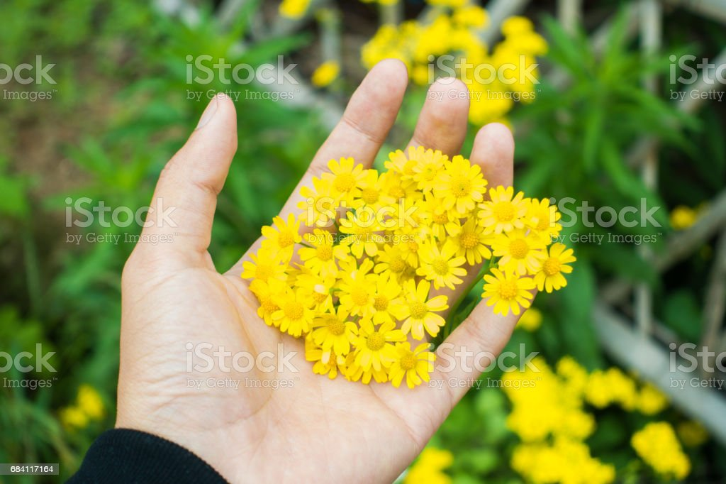 Hand holding flower foto stock royalty-free