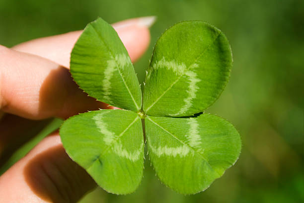 hand holding four leaf clover for st. patrick's day luck - st patricks days stock photos and pictures