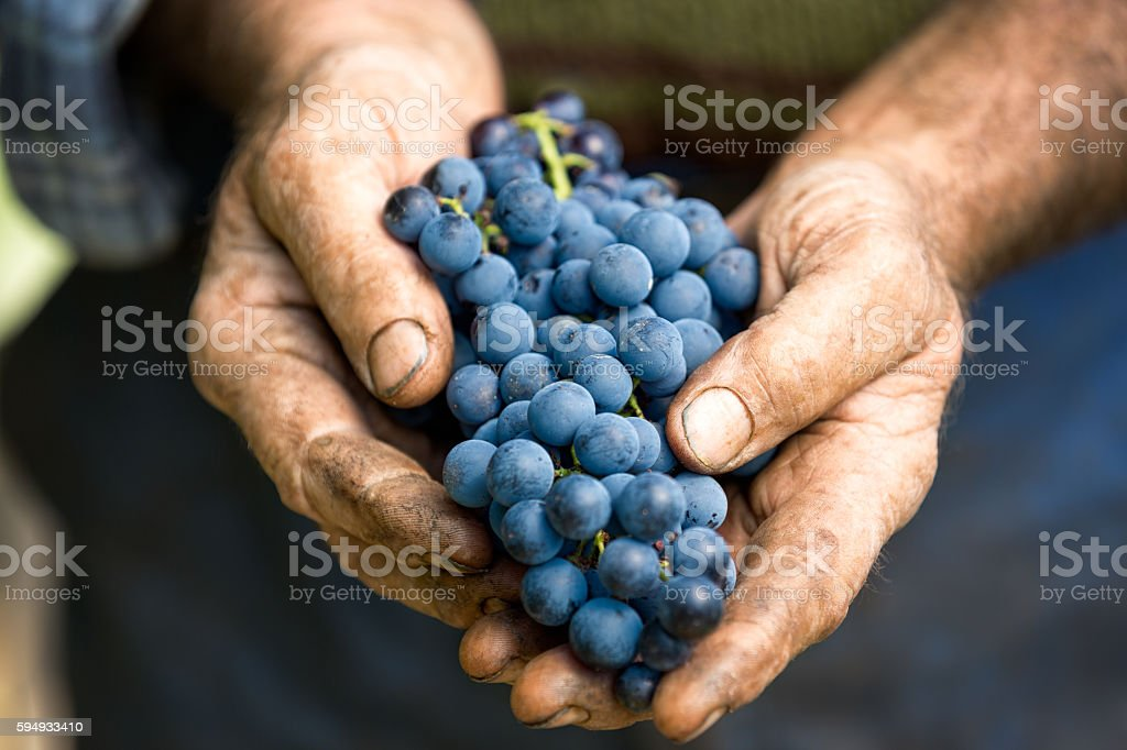 Hand holding fresh bunch of grapes – Foto