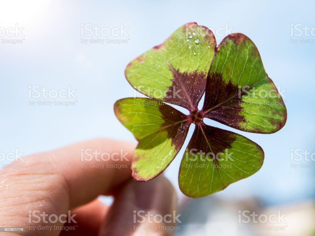 Hand mit frischen vierblättriges Kleeblatt gegen blauen Himmel – Foto