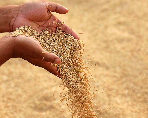 Hand holding golden paddy seeds Hand holding golden paddy seeds in Indian subcontinent rice paddy stock pictures, royalty-free photos & images
