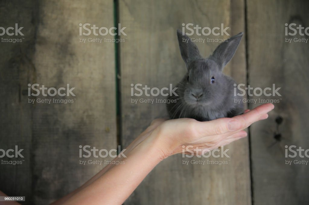 Gray Baby Bunny, Country Wood Panel Background
