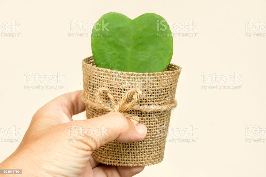 Hand holding HOYA CACTUS in sackcloth flower pot stock photo