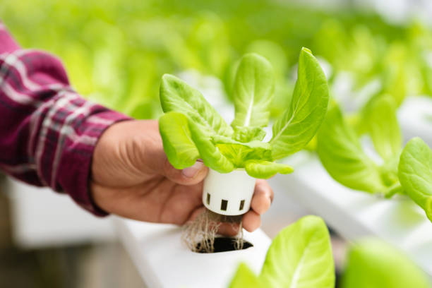 Hand holding hydroponic plant stock photo