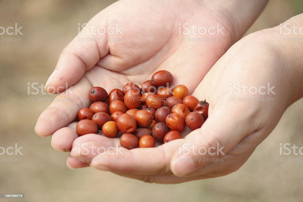 Hand holding jujube berries royalty-free stock photo