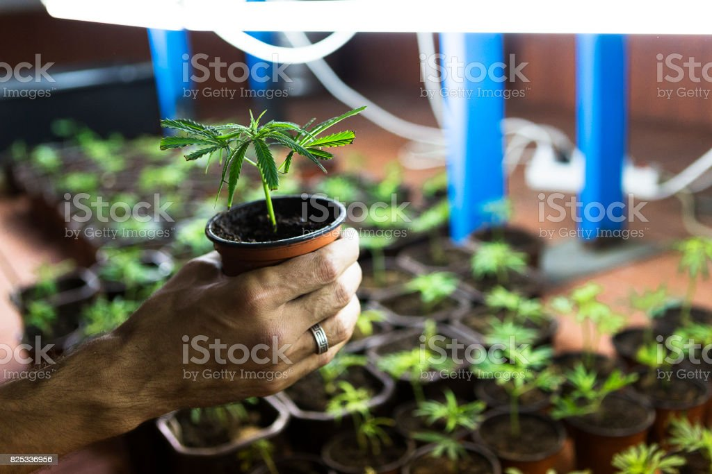 Hand holding marijuana Clone seedling stock photo
