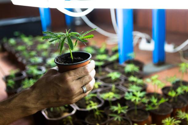 Hand holding marijuana Clone seedling stock photo