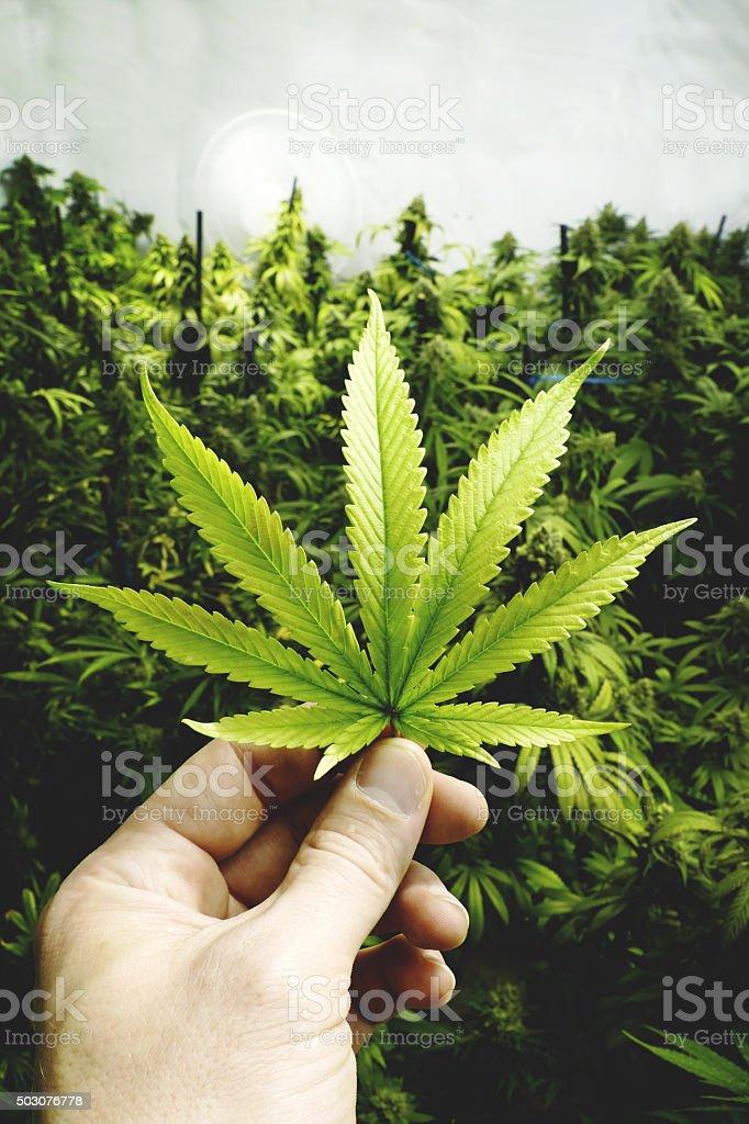 Main Tenant La Marijuana Feuille De Cannabis Plantes Intérieur De ...