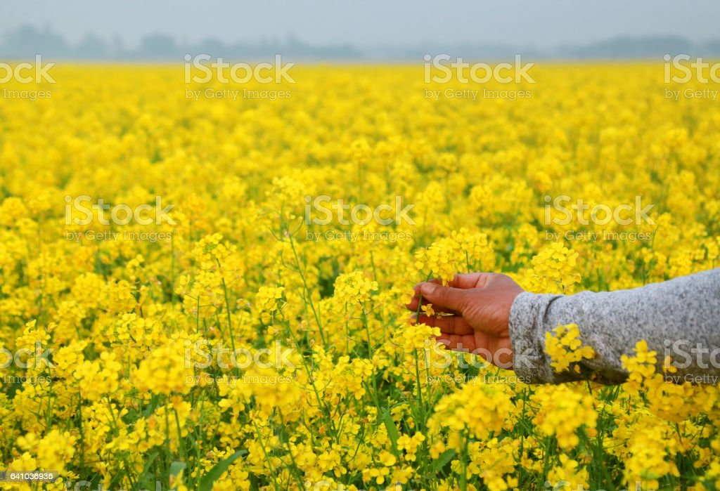 Hand holding mustard flowers stock photo