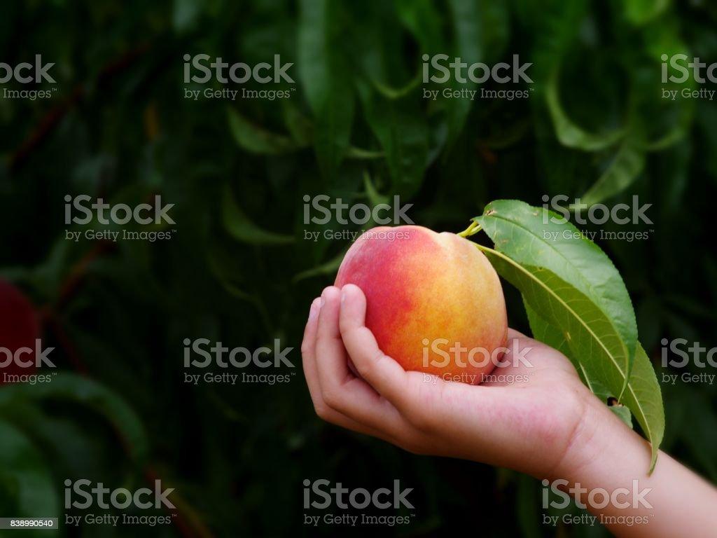 Hand hält Pfirsich im Obstgarten mit einem unscharfen Hintergrund – Foto