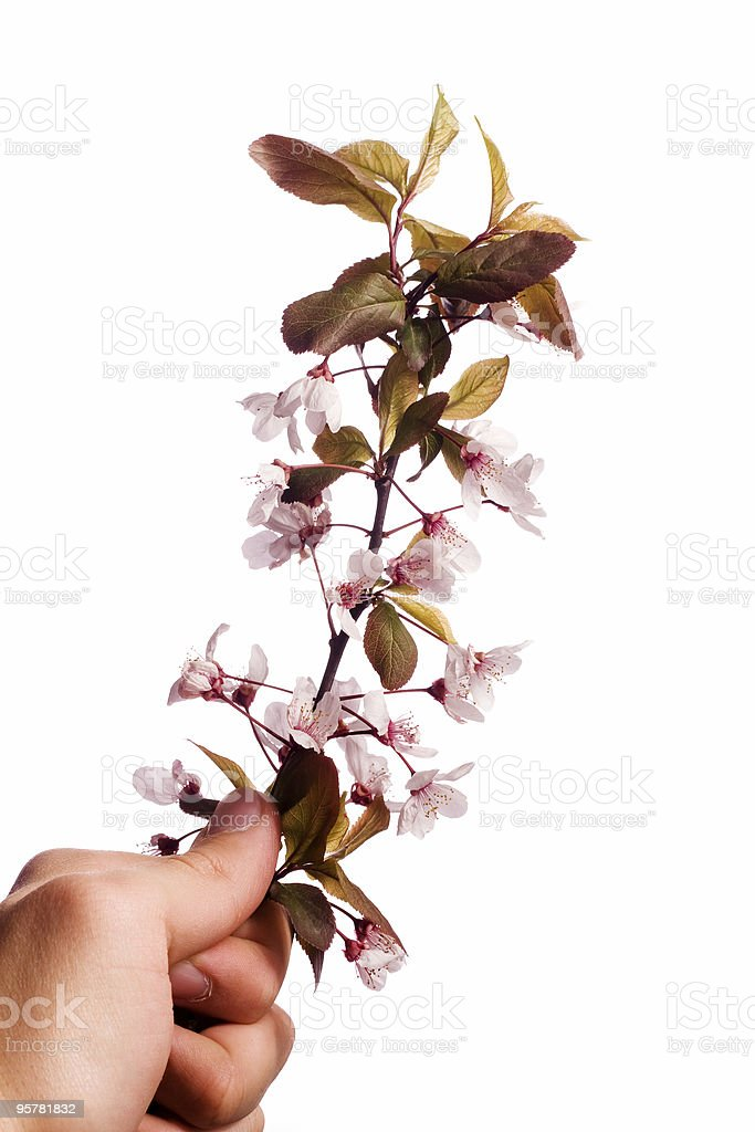 hand holding plum tree flowers royalty-free stock photo