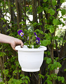 hand holding pot with fresh planted viola flower.