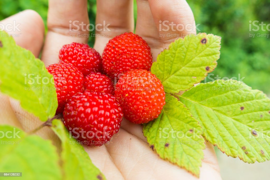 Hand holding raspberry foto stock royalty-free