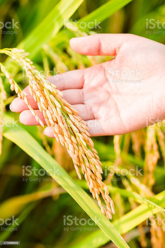 Hand Holding Rice Crop stock photo