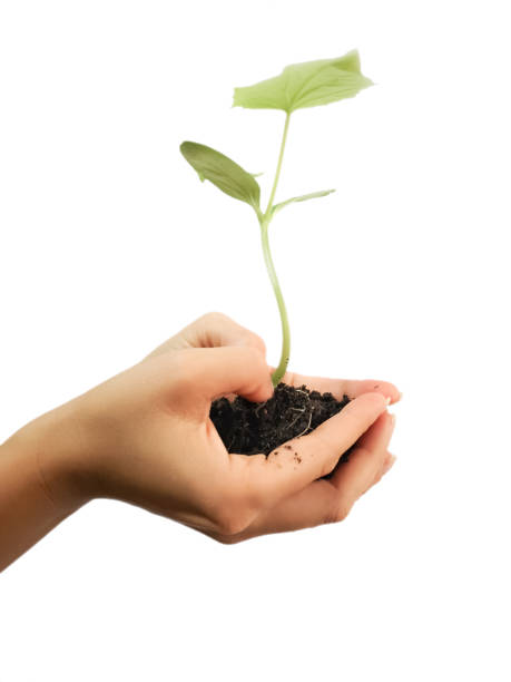 Hand holding sapling in soil isolated on white background stock photo