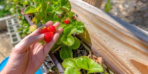 Hand holding strawberries on an aquaponics farm stock photo