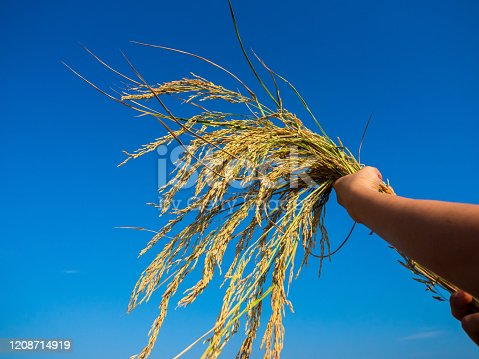 Hand holding sung yod organic paddy rice ,product from south of Thailand on blue sky background on sunny day.