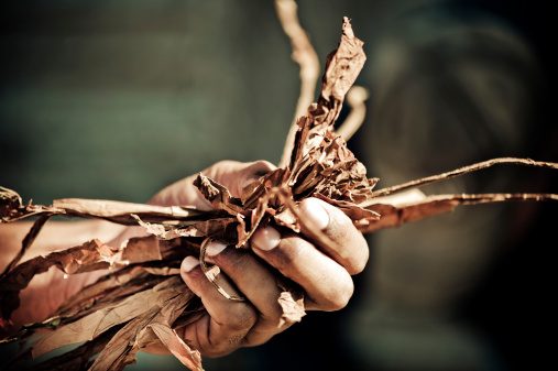 Hand holding tobacco leaves