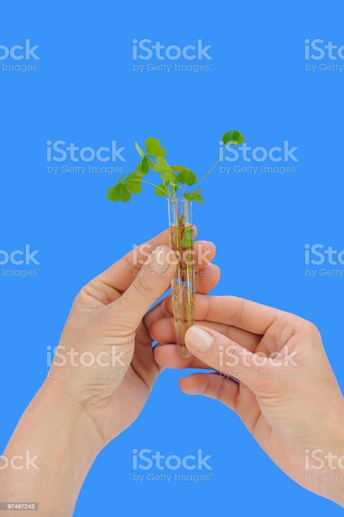 Hand holding tube with fresh  sorel (oxalis) - isolated royalty-free stock photo
