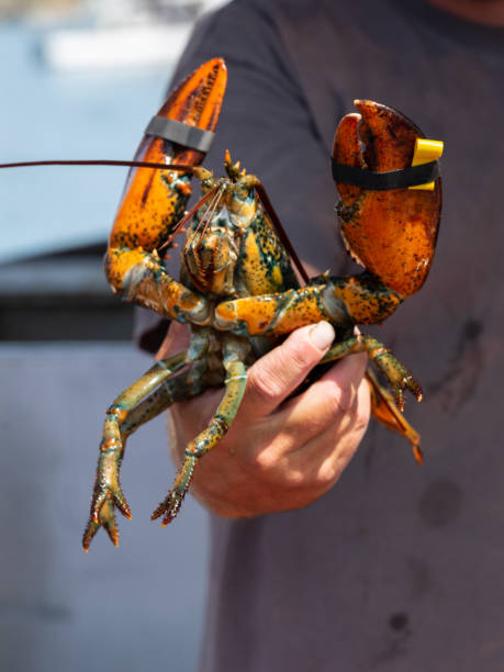hand holding up freshly caught lobsters - katiedobies stock pictures, royalty-free photos & images