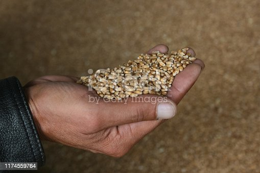 Close up of farmer hand holding wheat grains