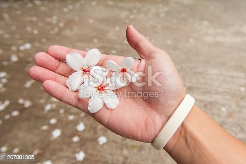 Hand holding white beautiful tung flower in tung flower season