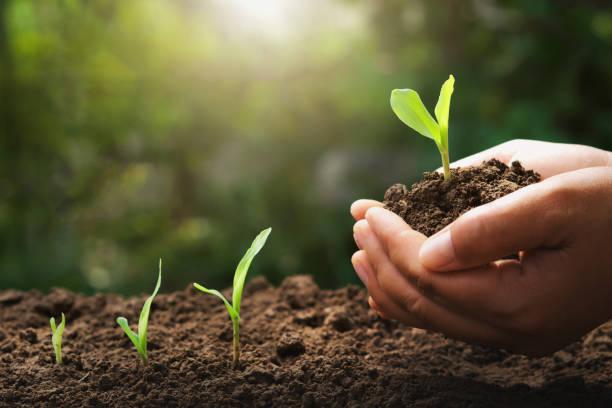 Hand hält Jungkorn für die Pflanzung im Garten mit Sonnenaufgang Hintergrund – Foto
