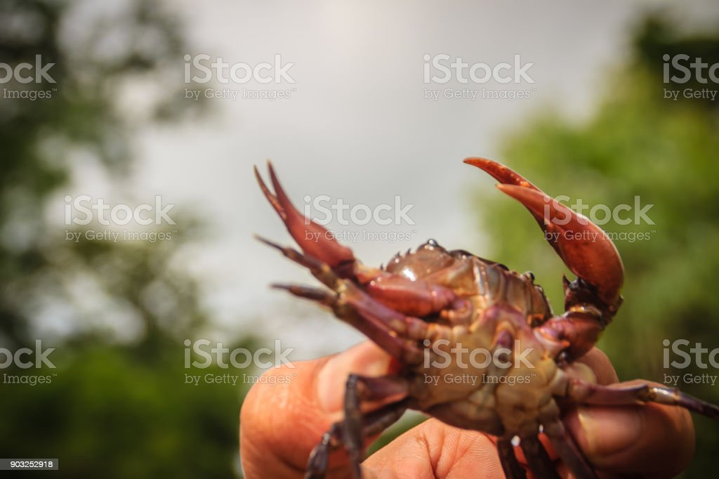 Hand holds freshwater crab or rice field crab (Somanniathelphusa) that can be found in fresh water in rivers, canals or in rice fields. stock photo