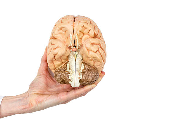 Hand holds model human brain on white background stock photo