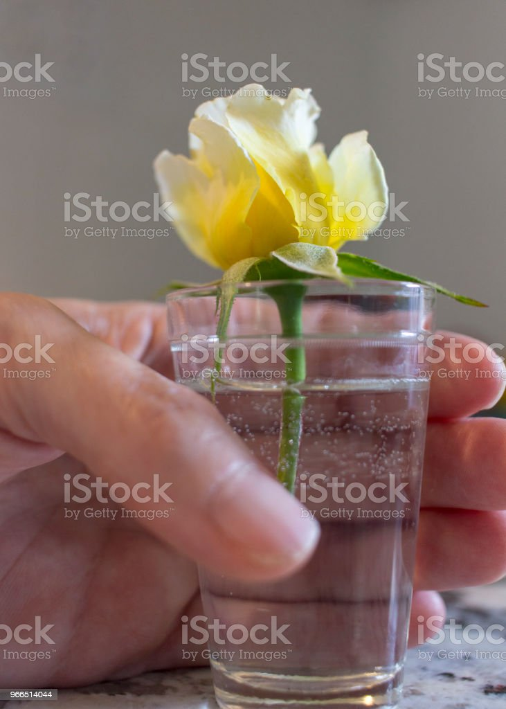 Hand holds small glass with yellow rose stock photo