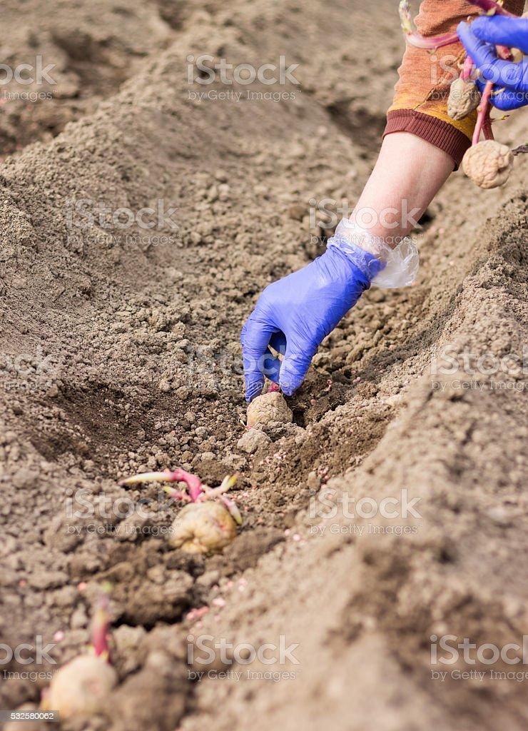 Hand im Handschuh ist Pflanzen Kartoffel in den Boden – Foto