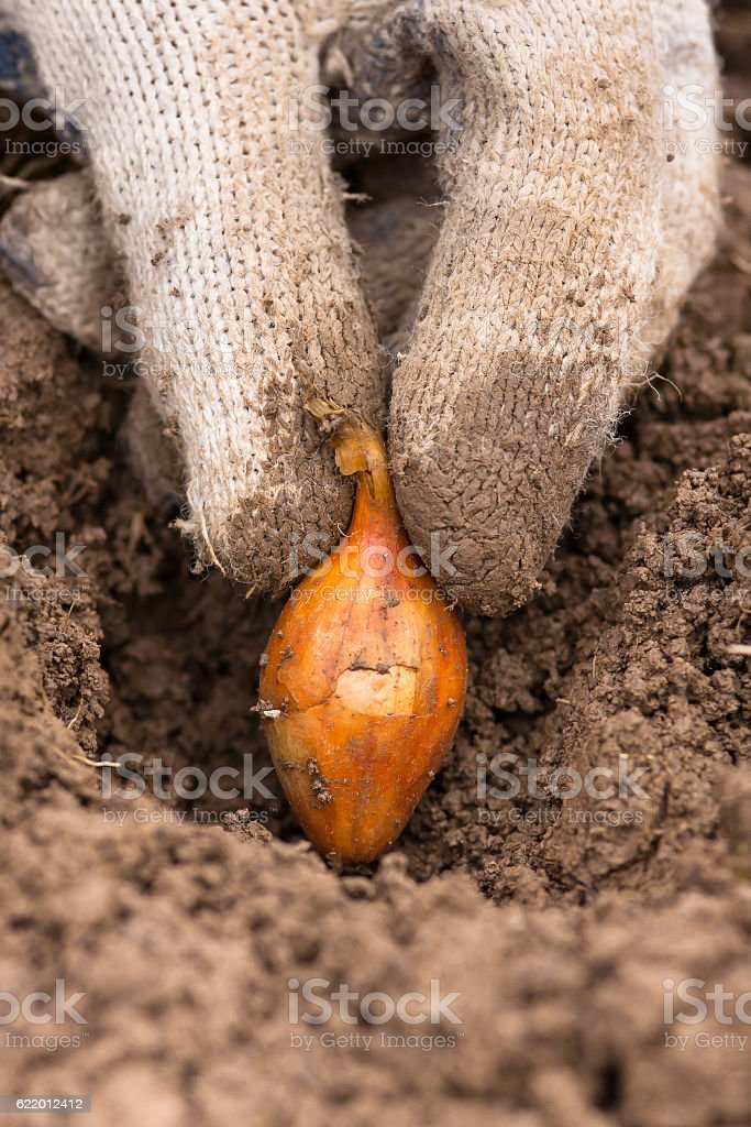 hand in gloves planting set onion stock photo