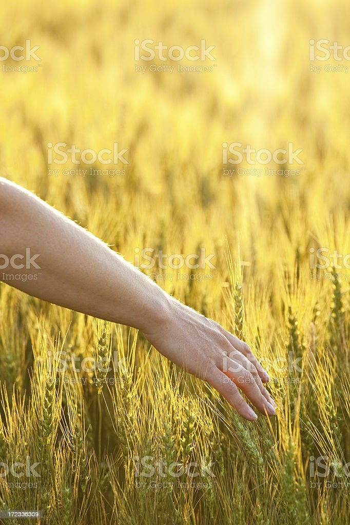 Hand in Golden Wheat royalty-free stock photo